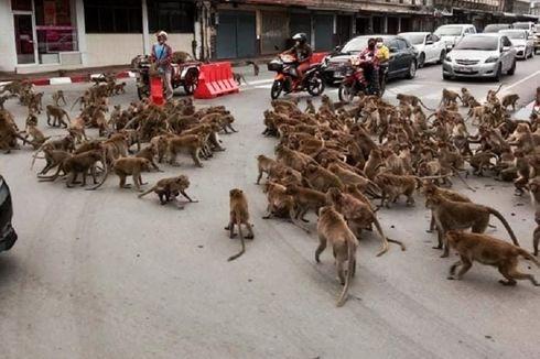 Alami Krisis Makanan, Geng Monyet Serbu Jalanan di Thailand