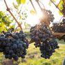 Tips Menanam Anggur di Taman Rumah