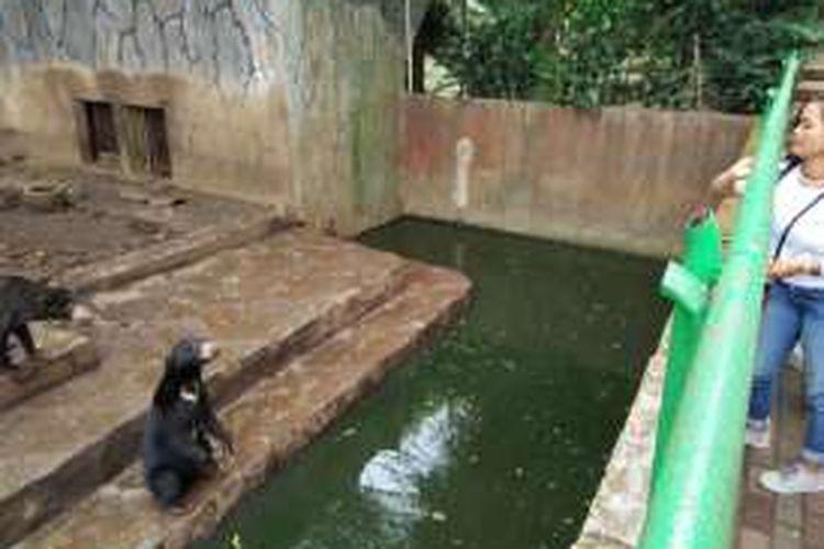 Beruang madu di Kebun Binatang Bandung saat berdiri meminta makan kepada pengunjung, Rabu (18/1/2017). KOMPAS.com/DENDI RAMDHANI
