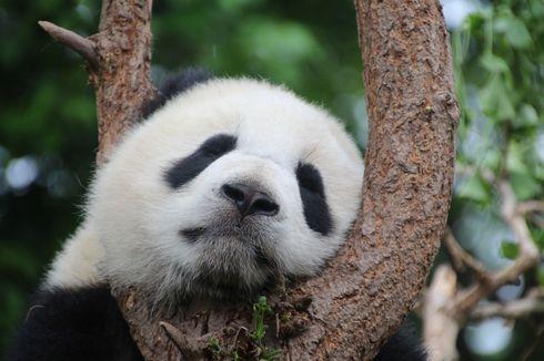 Kabar Baik di Tengah Wabah Corona: 2 Panda Hong Kong Berhasil Dikawinkan