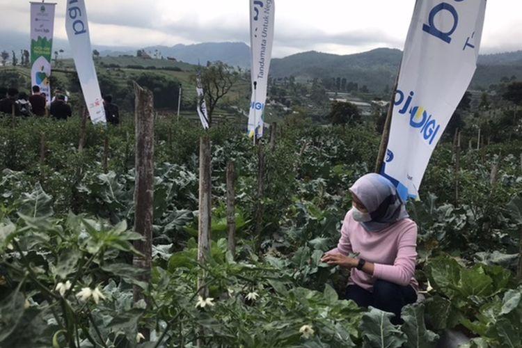 Seorang warga tengah mengecek tanaman brokoli di Lembang saat peluncuran Kick-off Petani Milenial.