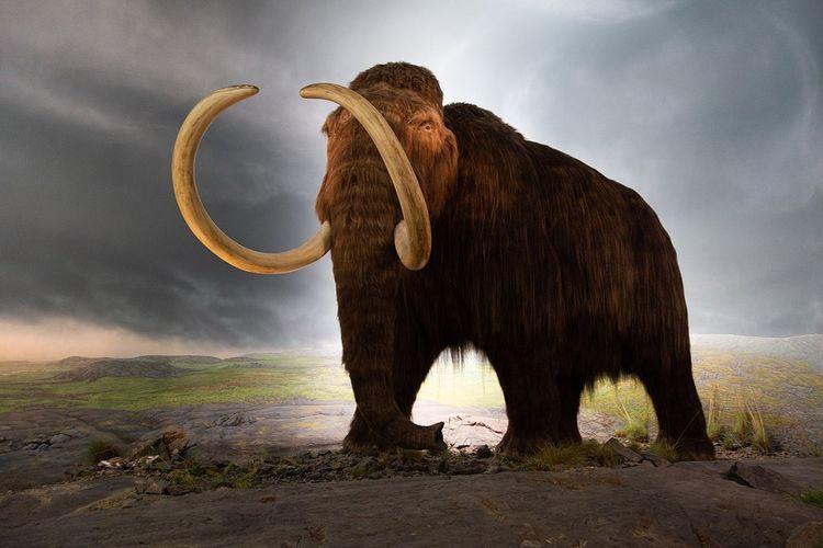 Ilustrasi mamut berbulu di Royal Victoria Museum, Victoria, British Columbia, Canada, 2018