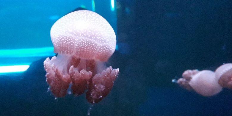 Spotted jellyfish, salah satu jenis ubur-ubur yang dipamerkan di Jellyfish Sphere SeaWorld Ancol, Jakarta Utara, Selasa (18/12/2018).