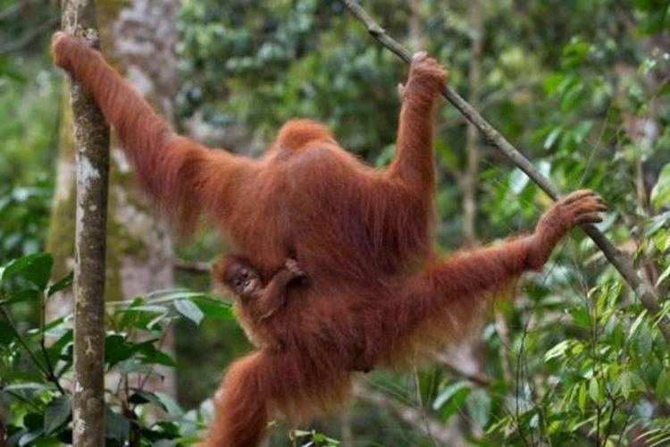 Ilustrasi Orangutan