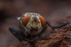 Mengapa Lalat Suka Berada di Tempat Kotor?