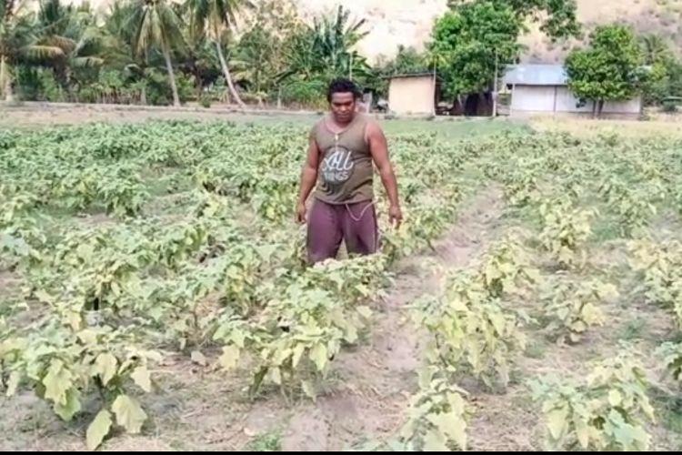 Foto :Osias Dosi, salah seorang petani yang tanaman padi dan hortikulturalnya gagal panen.