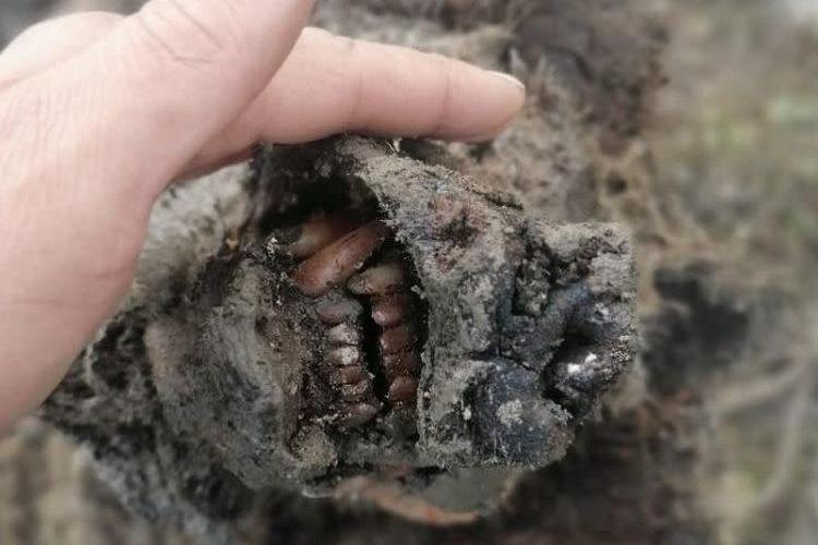 Beruang gua yang ditemukan di Rusia, masih utuh dan dalam kondisi terawetkan dengan baik.