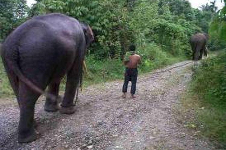 Dua ekor gajah terlatih BKSDA digiring kembali usai melakukan pemantauan terhadap dua ekor gajah lain yang belum ditemukan keberadaannya. (DESI)
