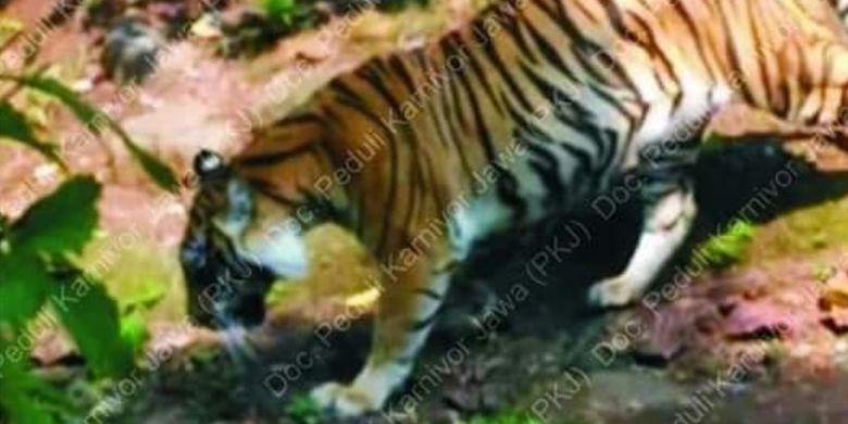 Seekor binatang buaa yang diyakini Harimau Jawa berhasil didokumentasikan seorang warga dengan kamera telepon genggam di pinggiran hutan, September 2018.