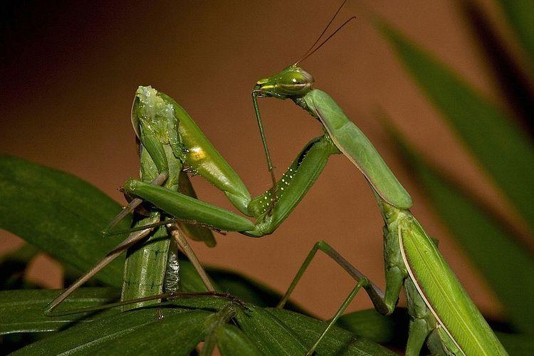 Belalang sembah betina memakan pasangannya