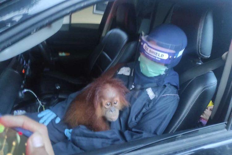 Orangutan ini sebelumnya dipelihara oleh warga di Binjai. Proses evakuasi sempat tersendat. Namun dengan pendampingan Polres Binjai, akhirnya diserahkan secara sukarela oleh pemeliharanya. Selain orangutan, satwa dilindungi lainnya yang diserahkan berupa 2 ekor burung elang dan 1 ekor burung beo.