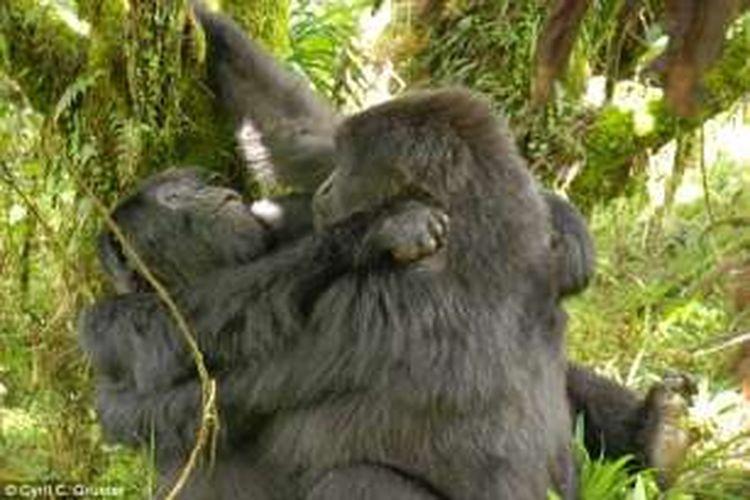 Perilaku lesbian di kalangan gorila betina di Rwanda, ditemukan seorang ilmuwan Australia setelah melakukan penelitian selama dua tahun.