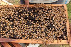 Peternakan Lebah Madu Binaan Pertamina Diusulkan jadi Tempat Wisata