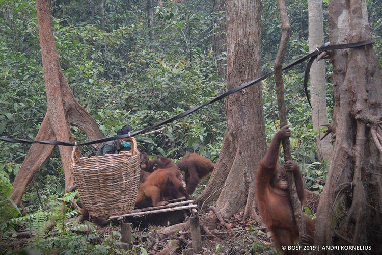 Kondisi terkini orangutan di Pusat Rehabilitasi Orangutan Nyaru Menteng, Kalimantan Tengah.