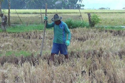 7 Provinsi Penghasil Beras Terbesar di Indonesia