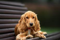 Perawatan untuk Atasi Bulu Anjing Rontok, Bisa Dilakukan di Rumah
