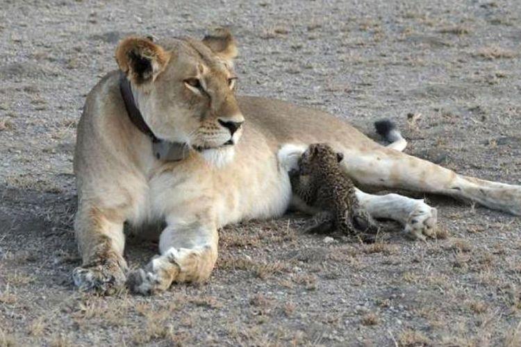 Singa dan macan tutul