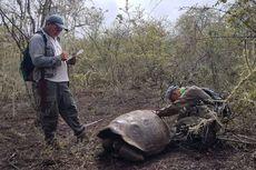 Keturunan Kura-kura Raksasa yang Telah Punah Ditemukan di Galapagos