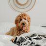 Ingin Memelihara Anjing? Pertimbangkan Dulu 4 Hal Ini