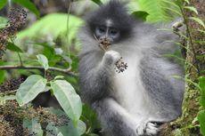 Surili Berkeliaran di Permukiman, Monyet Langka Maskot PON Jabar 2016, Diduga Binatang Peliharaan