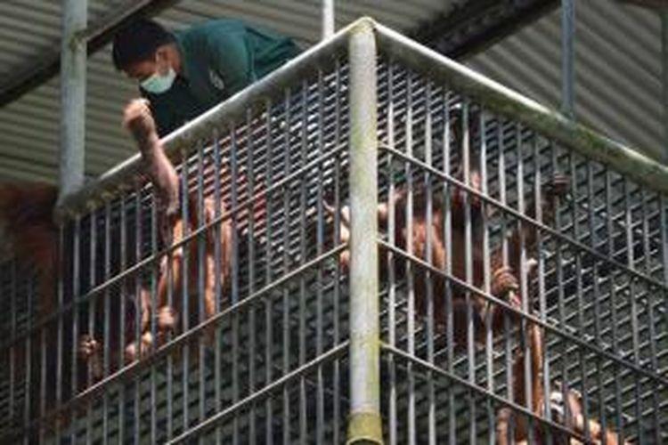 Petugas memeriksa orangutan sumatera di pusat karantina Program Konservasi Orangutan Sumatera di Sibolangit, 8 April 2013.