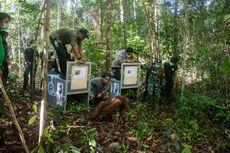 Lima Orangutan Dilepasliarkan ke Alam, Dianggap Siap Setelah Rehabilitasi Bertahun-tahun