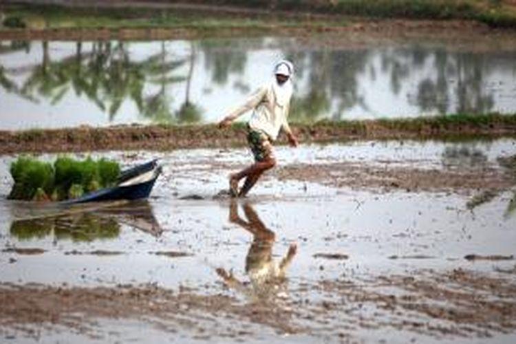 Petani menyebar bibit padi untuk ditanam di sawah di Desa Karangsari, Tangerang, Banten, Jumat (13/5/2011). Pemerintah kini sedang menyiapkan program menyewa sawah petani untuk meningkatkan produksi padi.