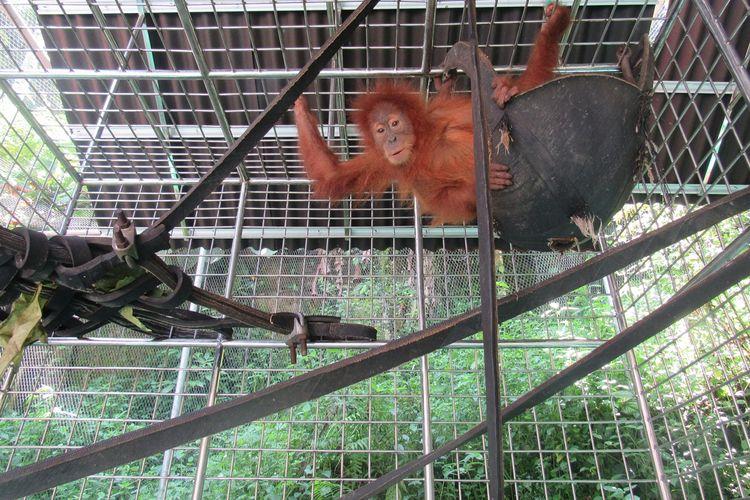 Orangutan Poni berkelamin betina diperkirakan berusia 5 tahun. Poni selama ini dipelihara oleh mandor kilang kayu selama tiga bulan. Kini Poni, sebagaimana Pandi dirawat di Pusat Karantina dan Rehabilitasi Orangutan di Batu Mbelin.