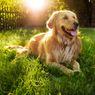 5 Ras Anjing Terbaik untuk Dipelihara di Tengah Keluarga