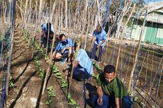 Lahan Berbatuan Diubah Jadi Kebun Sayur oleh TNI AU