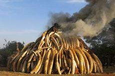 Selundupkan 700 Gading Gajah, Wanita China Diadili di Tanzania