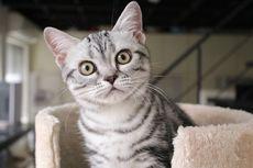 10 Ras Kucing yang Paling Ramah, Senang Bermain dengan Keluarga