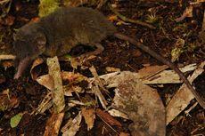Badan dan Ekor Berbulu Lebat, Ini Spesies Celurut Baru Asal Sulawesi