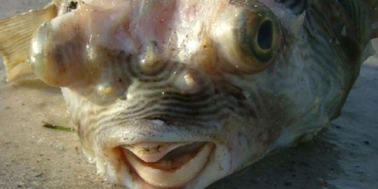 Akankah suatu hari nanti gigi manusia menjadi seperti paruh pada ikan buntal ini?