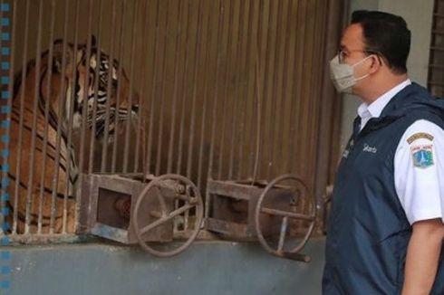 Dua Harimau Sumatera di Ragunan Terpapar Covid-19, Anies: Sudah Ada Tanda-tanda Kesembuhan