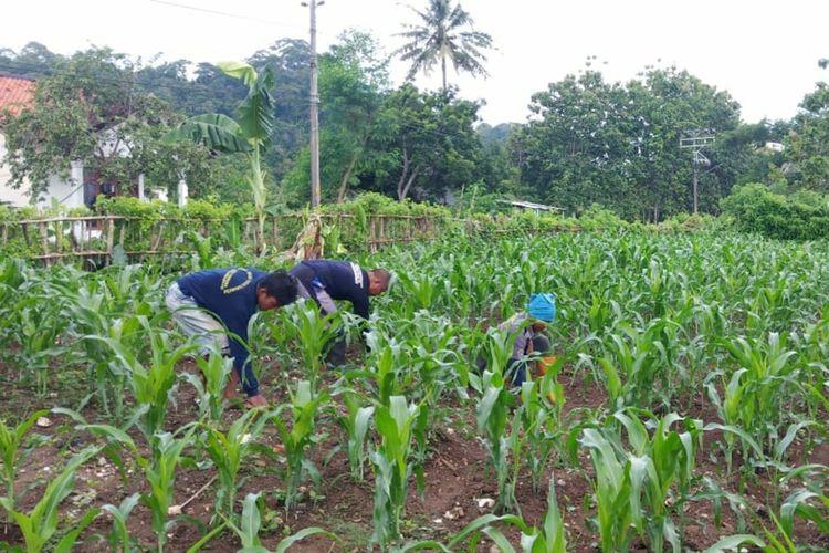 Penanaman jagung di Lapas Terbuka Pulau Nusakambangan, Cilacap, Jawa Tengah, beberapa waktu lalu.