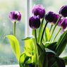 4 Cara Membuat Bunga Tulip Tetap Segar dan Tidak Terkulai di Dalam Vas