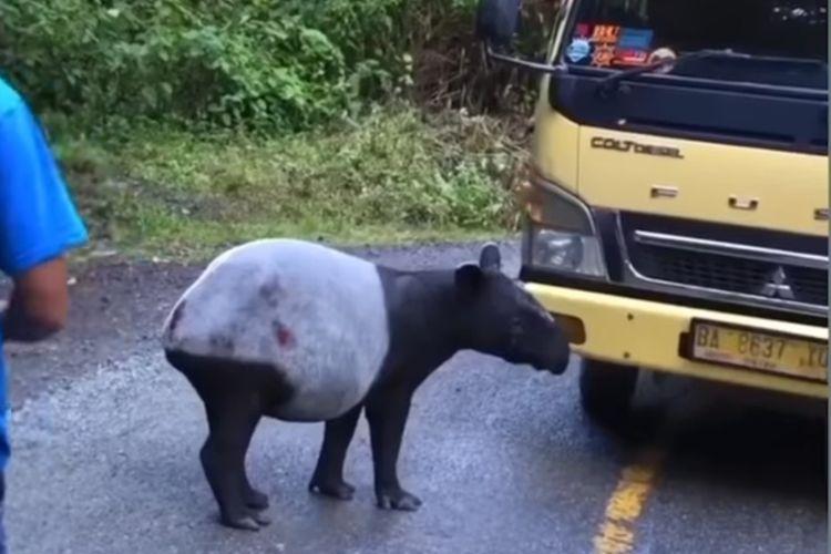 Screenshot akun instagram Kerinci Kita mengedarkan video tapir yang muncul di jalan dekat Taman Nasional Kerinci Seblat. Video tersebut diposting pada Minggu (27/6/2021). Tapir tersebut langsung dikembalikan tim BKSDA dan TNKS ke dalam hutan.