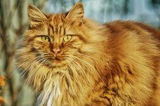 12 Jenis Kucing Berbulu Panjang, Penampilannya Menggemaskan