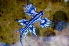 Australia Waspadai Sengatan Siput Laut Naga Biru