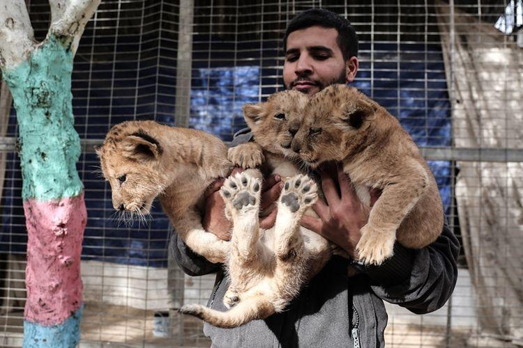 Tiga ekor anak singa yang lahir pada November lalu di kebun binatang swasta di Gaza dijual pemiliknya karena kekurangan biaya.