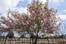 Sumba Punya Bunga Mirip Sakura, Suasana Jadi Seperti di Jepang
