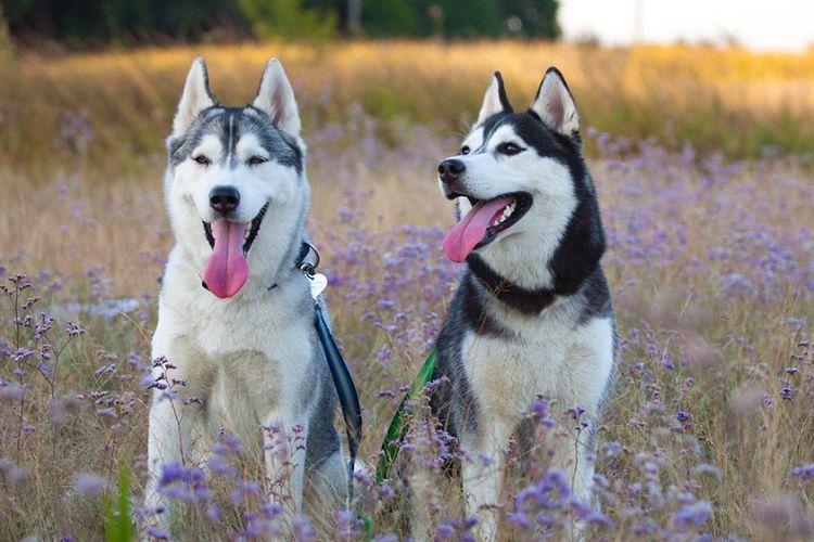 Ilustrasi anjing Husky.