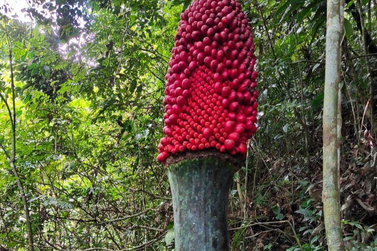 Bunga bangkai berbuah ditemukan di Agam, Sumatera Barat