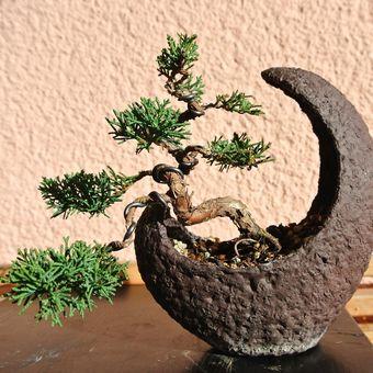 Bonsai juniper.