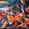 Panduan Memelihara Ikan Menurut Feng Shui agar Mendapat Keberuntungan