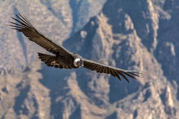 Burung Kondor Andes Terbang Berjam-jam Tanpa Mengepakkan Sayapnya