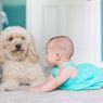 5 Ras Anjing yang Ramah dan Cocok Dipelihara Anak-anak