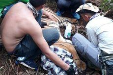 Kisah Evakuasi Harimau Sumatera 3 Hari Terjerat Tali di Riau: Petugas 2 Jam tembus Hutan, Temukan Luka Serius di Kaki