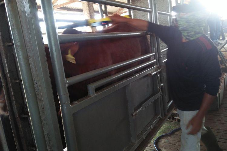 Pekerja penggemukan sapi di Lampung Tengah menimbang berat badan sapi yang dibeli konsumen untuk daging Lebaran. Lebih dari 32.000 ekor sapi dari Lampung disiapkan untuk Jabodetabek.